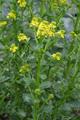 Gemeine Winterkresse/Barbarea vulgaris