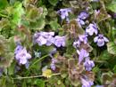 Gewöhnliche Gundelrebe/Glechoma hederaceae