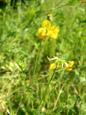 Ginastrino comune/Lotus corniculatus
