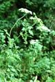 Gewöhnlicher Wiesen-Bärenklau/Heracleum sphondylium ssp. sphondylium