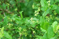 Berretto da prete, Corallini/Euonymus europaea