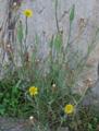 Barba di becco a tromba/Tragopogon dubius