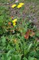 Crépide à grands capitules/Crepis conyzifolia