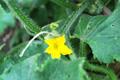 Concombre, Cornichon/Cucumis savitus