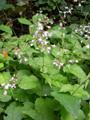 Grosses Hexenkraut, Gewöhnliches Hexenkraut/Circaea lutetiana