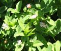 Trèfle à tige creuse/Trifolium suavéolens