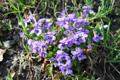 Hügel-Veilchen/Viola collina