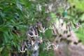Insubrisches Nickendes Leimkraut/Silene nutans, ssp. livida, insubrica