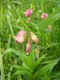 Verschiedenblättrige Platterbse/Lathyrus heterophyllus