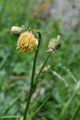 Klebrige Kratzdistel/Cirsium erisithales