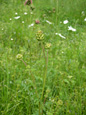 Kleiner Wiesenknopf/Sanguisorba minor