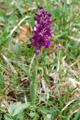 Orchis buffon/Orchis morio
