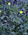 Knolliger Hahnenfuss/Ranunculus bulbosus