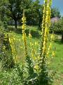 Molène thapsus, Bouillon blanc/Verbascum thapsus
