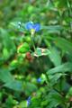 Erba miseria asiatica/Commelina communis