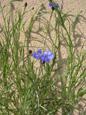 Bleuet/Centaurea cyanus