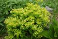 Krainer Wolfsmilch/Euphorbia carniolica