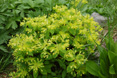 Euphorbia carniolica