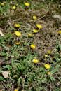 Langhaariges Habichtskraut/Hieracium pilosella