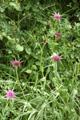 Lauchblättriger Bocksbart (Haferwurz)/Tragopogon porrifolius