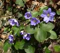 Leberblümchen/Hepatica nobilis