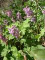 Hohlknolliger Lerchensporn/Corydalis cava