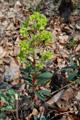 Mandelblättrige Wolfsmilch/Euphorbia amygdaloides