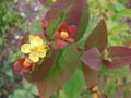 Tuttasana, Ruta selvatica/Hypericum androsaemum (Foto: Fritz Schild, Pfäffikon)