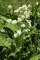 Meerrettich/Armoracia rusticana