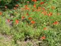 Pavot douteux/Papaver dubium ssp. lecoquii