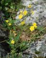 Crepide con foglio di papavero/Crepis foetida subsp. rhoeadifolia