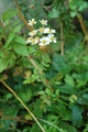 Mutterkraut/Tanacetum parthenium