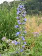 Viperina azurra/Echium vulgare