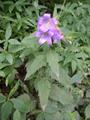 Campanule gantelée/Campanula trachelium