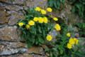 Niedriges Habichtskraut/Hieracium humile