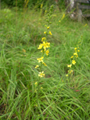 Kleiner Odermennig/Agrimonia eupatoria