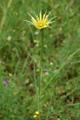 Barba di becco orientale/Tragopogon  pratensis ssp. orientalis
