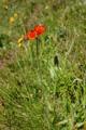 Orangerotes Habichtskraut/Hieracium aurantiacum