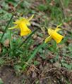 Jonquille/Narcissus pseudonarcissus