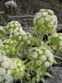 Pétasite blanc/Petasites albus