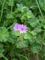 Pyrenäen-Storchenschnabel/Geranium pyrenaicum