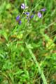 Polygale à feuilles de serpolet/Polygala serpyllifolia