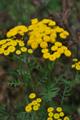 Gemeiner Rainfarn/Tanacetum vulgare
