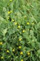 Ranken-Platterbse/Lathyrus aphaca