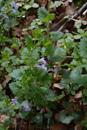 Rauhaarige Gundelrebe/Gelchoma hederaceae subsp. hirsuta
