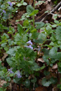 Edera terrsetre irsuta/Gelchoma hederaceae subsp. hirsuta
