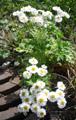 Rautenblättrige Schmuckblume, Koriander-Schmuckblume/Callianthemum coriandrifolium