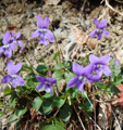 Violette de Rivinius/Viola riviniana