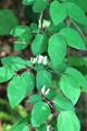 Rote Heckenkirsche/Lonicera xylosteum