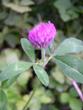 Rotklee/Trifolium pratense